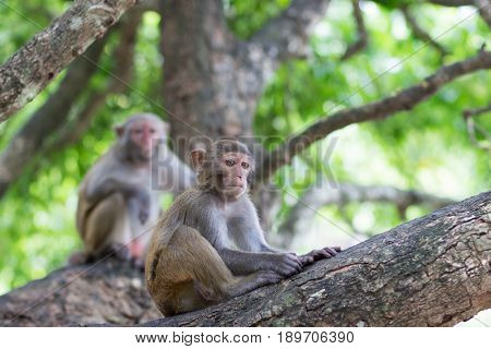 Monkey rhesus monkey sits on a tree under the supervision of an adult female