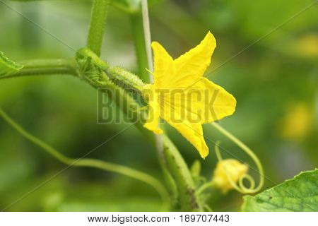 fresh Small cucumber with flower in the garden bed.