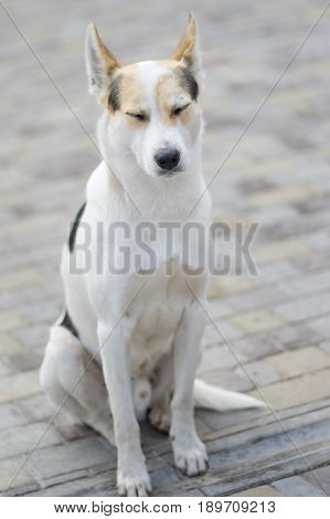 Nice portrait of stray cross-breed white dog drowsing while sitting on a street