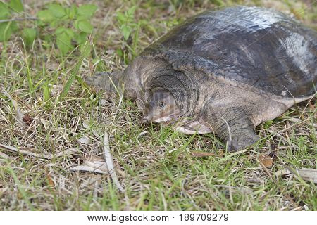 Florida Softshell Turtle basking in sun next to pond