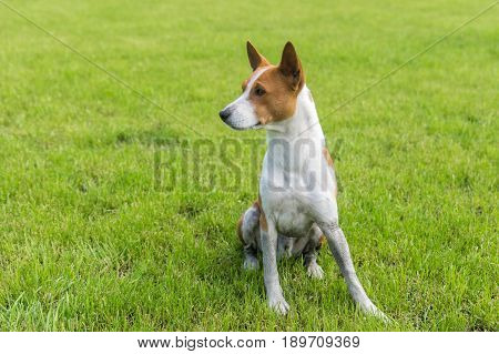 Dirty mature basenji dog resting in spring grass after everyday run