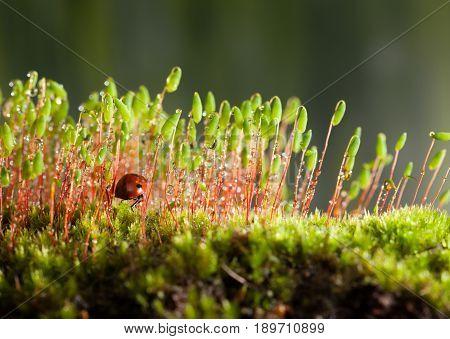 Ladybird Hidden In Moss