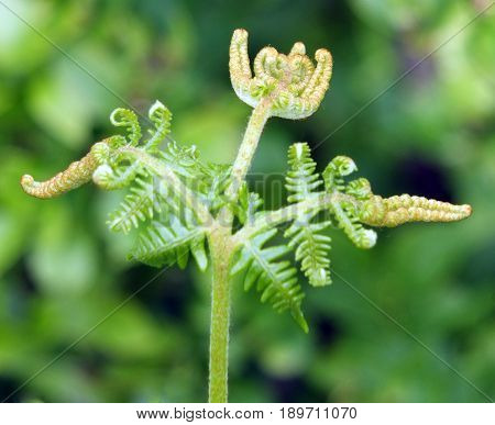 colse up of new fern frond uncoiling in spring