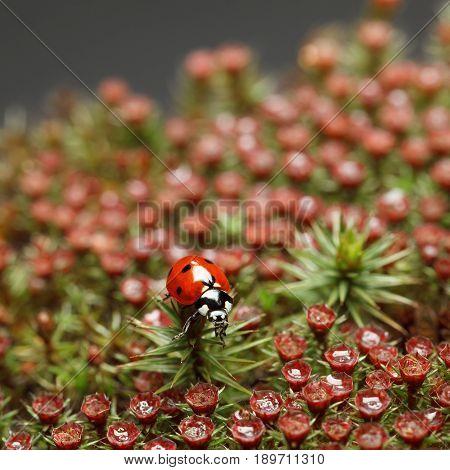 Ladybird On Red Blossom Moss