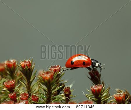 Ladybird Walking On Red Blossom Moss Top