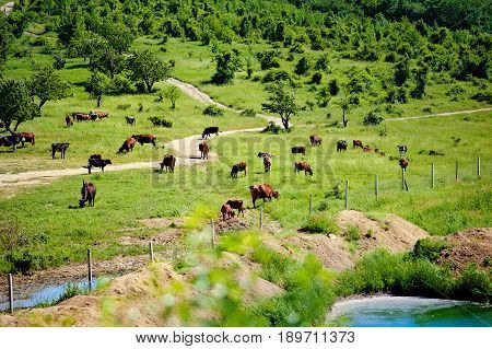 Herd of cows grazing on a green meadow near the lake in the hills at sunny summer day. The picturesque landscape. Dairy farm. Cattle ranch. Morning in the village.
