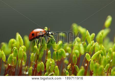 Ladybag Walking On Moss Stalks