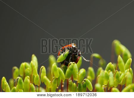 Red Ladybird On Moss Capsules