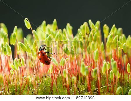Ladybird Climbing On Moss Stalks