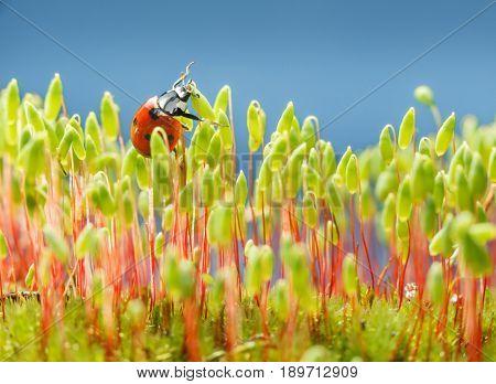 Ladybird In Moss
