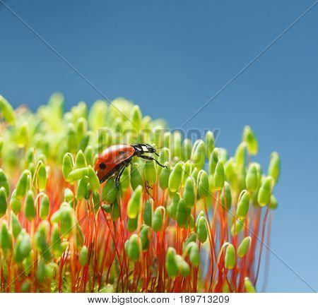 Pohlia Moss And Ladybird