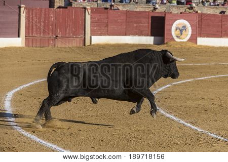 Capture of the figure of a brave bull in a bullfight Spain