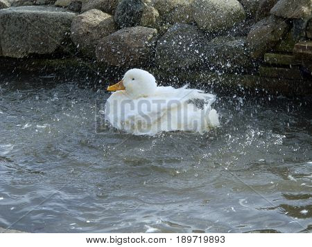 Water and feathers fly as a white duck cleans itself in a small pond at a farm in southeastern Michigan.
