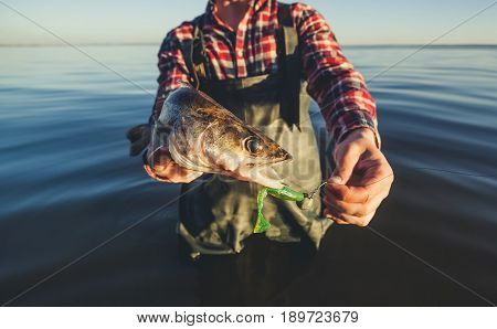 The fisherman is holding a fish Zander caught on a hook in a freshwater pond.
