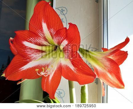 red flower with latin name Amaryllis or Hippeastrumon on the windowsill