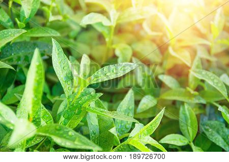 Green tea leaves ripening on a bush morning sunlight decorates tea bushes agrarian background
