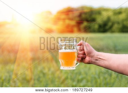 Unfiltered light beer in beer glass is held by a man's hand against the background of growing in the field of green barley from which is produced malt