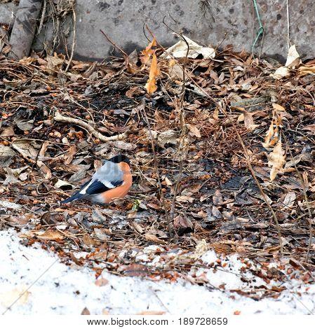 bullfinch eating Rowan on the ground in sunny day