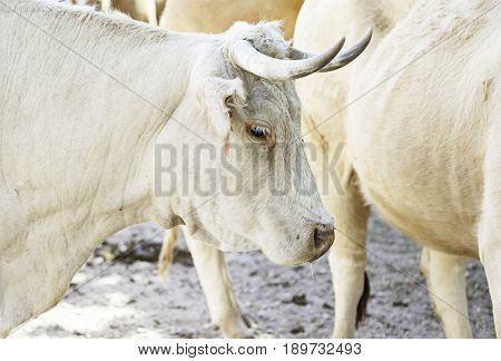 Cows On A Farmyard