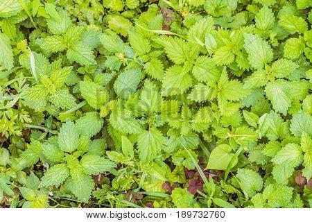 Natural background of the nettle leaves. Green nettle cover.