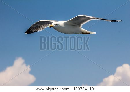 European herring gull , seagull (Larus argentatus) flying in the summer along the shores of Aegean sea near Athens, Greece.