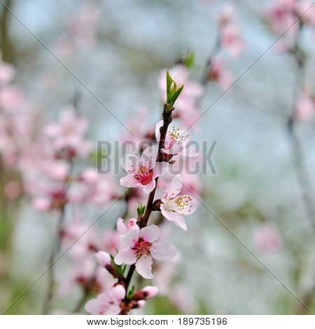Cherry blossoms over blurred nature background. Spring flowers