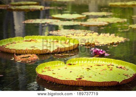 Giant Waterlilies in Mauritius Botanical gardens