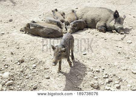 Herd Of Wild Pigs