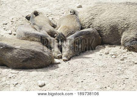Pigs Livestock, Animal Husbandry