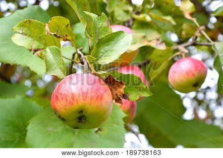 Red striped ripe apple on the branch with green leaves