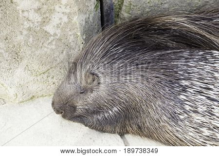 Porcupine Wild In A Zoo