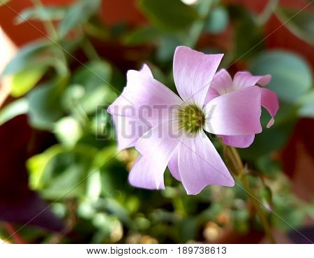 Flower of Oxalis Burgundy Wine. Oxalidaceae family