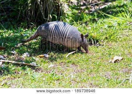 Nine-banded Armadillo- (dasypus Novemcinctus)