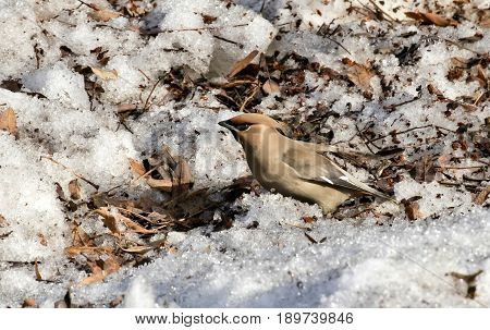 the Waxwing sits in the snow and eating Rowan in sunny day