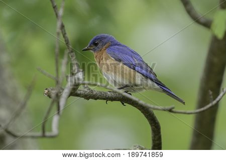A male Eastern Bluebird (sialia sialis) sits on some branches, looking left, in York County Pennsylvania, USA.