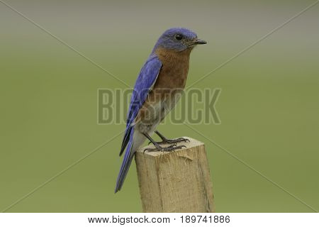 A male Eastern Bluebird in right profile, sitting on a wooden stake in Taneytown, Carroll County, Maryland, USA.