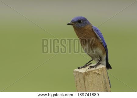 A male Eastern Bluebird (Sialia sialis) shown in three-quarters left profile, sitting on a wooden stake in Taneytown, Carroll County, Maryland, USA.