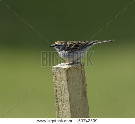 A Chipping Sparrow (Spizella passerine), an American passerine songbird, sitting on a wooden stake in left profile, in Taneytown, Carroll County, Maryland, USA.