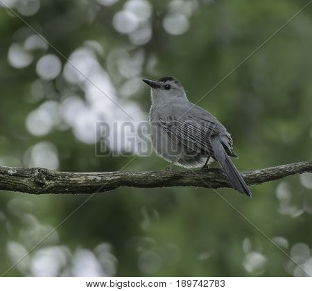 A Gray Catbird (Dumetella carolinensis) sits on a branch against a green background, looking to its left, and behind.