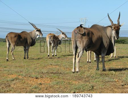 FROM KOEBERG NATURE RESERVE, CAPE TOWN, SOUTH AFRICA, ELAND BULLS