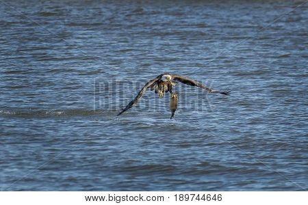 American Bald Eagle catching a large fish in the Chesapeake Bay in Maryland