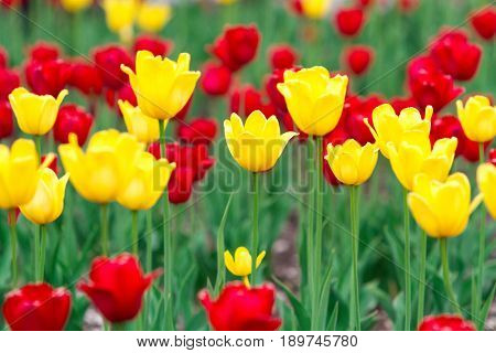 Yellow and red tulips flowers background