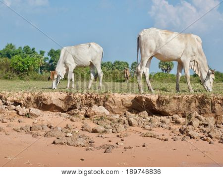 Cattle grazing, Tonle Sap Lake, rural Cambodia.