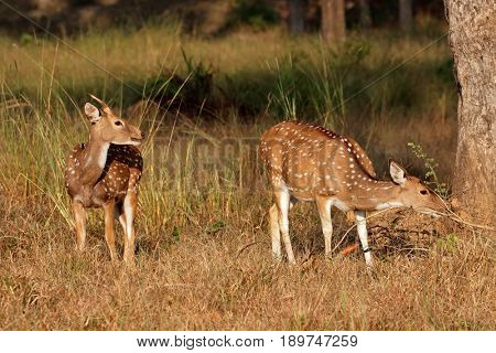 Spotted deer or chital (Axis axis) in natural habitat, Kanha National Park, India