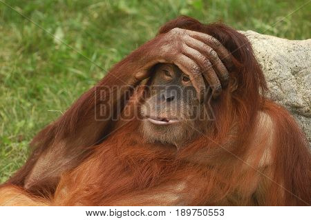 Portrait of wild brown red monkey orangutan Pongo pygmaeus with hand on his head, liying on stone. Sad monkey orangutan with emotion