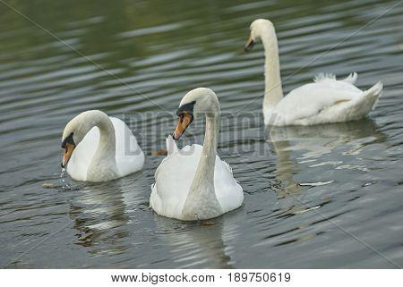 Three beautiful graceful white wild swans on the pond lake. Tsaritsino city park pond swans