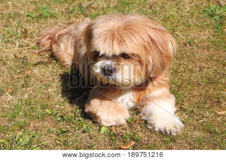 Lhasa Apso lying down on grass in a garden