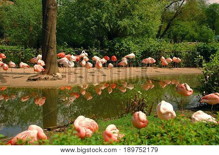 Beautiful landscape with wild pink flamingos on river bank among green trees. Famous wild birds of phoenicopterus family. Pink lights lamps. Old flamingo name red wings bird