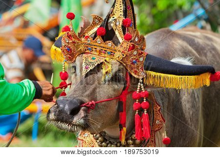 Driver man hold bulls team harnessed in cart on traditional balinese water buffalo race Makepung. Indonesian people culture Bali ethnic festivals and events