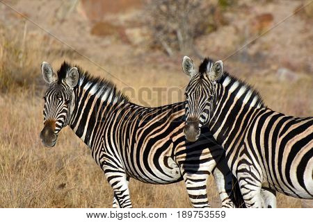 Picture of two Burchell's zebras in South Africa.